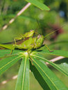 Green grasshopper eats leaf of manioc in costa rica central america Stock Images