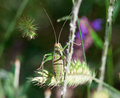 Green grasshopper in a grass in the closeup Stock Photo