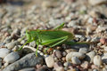 Green grasshopper on the ground Royalty Free Stock Photography
