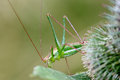Green grasshopper with long antennae hidden in thistles Stock Images