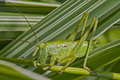 Green grasshopper macro photo of a feeding on a blade of grass with other blades in background Stock Image
