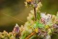 Green grasshopper posing for on flowers Royalty Free Stock Photo
