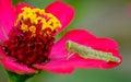 Green grasshopper on red corolla