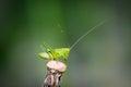 Green grasshopper resting on a dandelion in the garden Stock Images