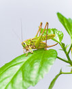 Green grasshopper sitting on a green leaf Royalty Free Stock Photo
