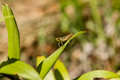 Green grasshopper sitting on green leaf Royalty Free Stock Photo