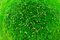 Green grassy background with tiny flowers Royalty Free Stock Photography