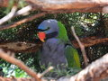 Green Grey Parrot In Nature