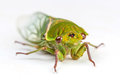 The Green Grocer Cicada isolated on white Royalty Free Stock Photo