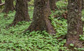 Green ground cover in forest Royalty Free Stock Photo