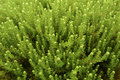Green ground cover plants Royalty Free Stock Photo