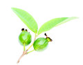 Green guava over white background Stock Photography