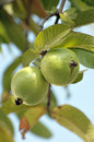 Green guavas Royalty Free Stock Image