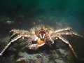 Green haired Red King Crab Stock Photos