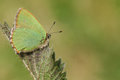 A Green Hairstreak Butterfly Callophrys rubi perched on a leaf. Royalty Free Stock Photo