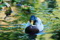 Green headed mallard Royalty Free Stock Photos