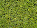 Green hedge background close up of the texture of a yew Royalty Free Stock Image