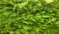 Green hedge background texture Royalty Free Stock Photos