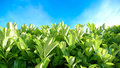 Green hedge blue sky clouds and beautiful bright sunny day live fence Stock Photography