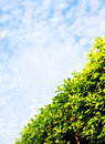 Green hedge diagonal, blue sky Stock Images