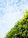 Green hedge diagonal, blue sky Royalty Free Stock Photo