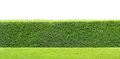 Green hedge isolated Royalty Free Stock Photo