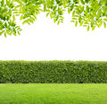 Green hedge leaves and isolated Royalty Free Stock Image