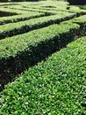 Green hedge in a maze shape Royalty Free Stock Photo