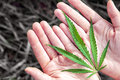 Green hemp s on the hands Royalty Free Stock Photo