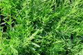 Green Herb Background