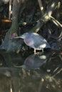 Green heron,  butorides virescens Royalty Free Stock Photography