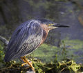 Green Heron (Butorides virescens) Royalty Free Stock Photo