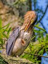 Green Heron Butorides virescens Perched on a Branch, Preening in the Sun at Kenilworth Aquatic Gardens in Washington, D.C., USA Royalty Free Stock Photo