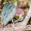 A Green Heron preening itself on a branch of a tree.Anhinga trail.Everglades National Park.Florida.USA Royalty Free Stock Photo