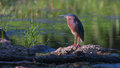 Green heron butorides virescens virescens posing on lake shore Stock Photography