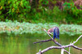 Green heron cleaning feathers on a small lake in central kentucky Stock Image