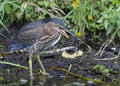 Green Heron Eating a Green Frog Royalty Free Stock Photo