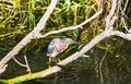 Green heron everglades national park florida Stock Photo