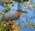 Green heron everglades national park florida Stock Images