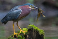 Green heron frog Royalty Free Stock Photo