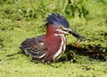 Green heron gone fishin i watched this fish for its lunch Stock Photography