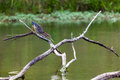 Green heron in hunting position on a small lake in central kentucky Royalty Free Stock Image