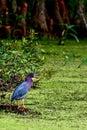 Green Heron Waiting In Ambush