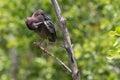 Green Heron, J.N. Ding Darling National Wildlife Refuge, San Royalty Free Stock Photo