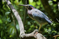 Green heron perched on a branch in a tropical bird sanctuary image shows the entire bird in profile with the details in its Stock Images