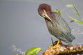 Green Heron Preening its Feathers Stock Photography