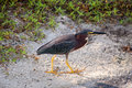 Green heron in the sand Stock Photo