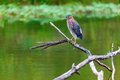 Green heron sitting on a tree branch on a small lake in central kentucky Royalty Free Stock Photography