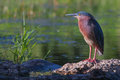 Green heron in soft focus butorides virescens virescens posing on lake shore Royalty Free Stock Photos