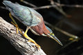Green Heron Stalking its Prey Stock Image